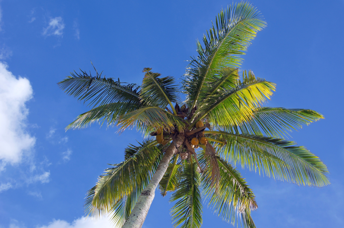 Under a Coconut Tree