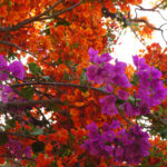 Bougainvillea and Delonix regia