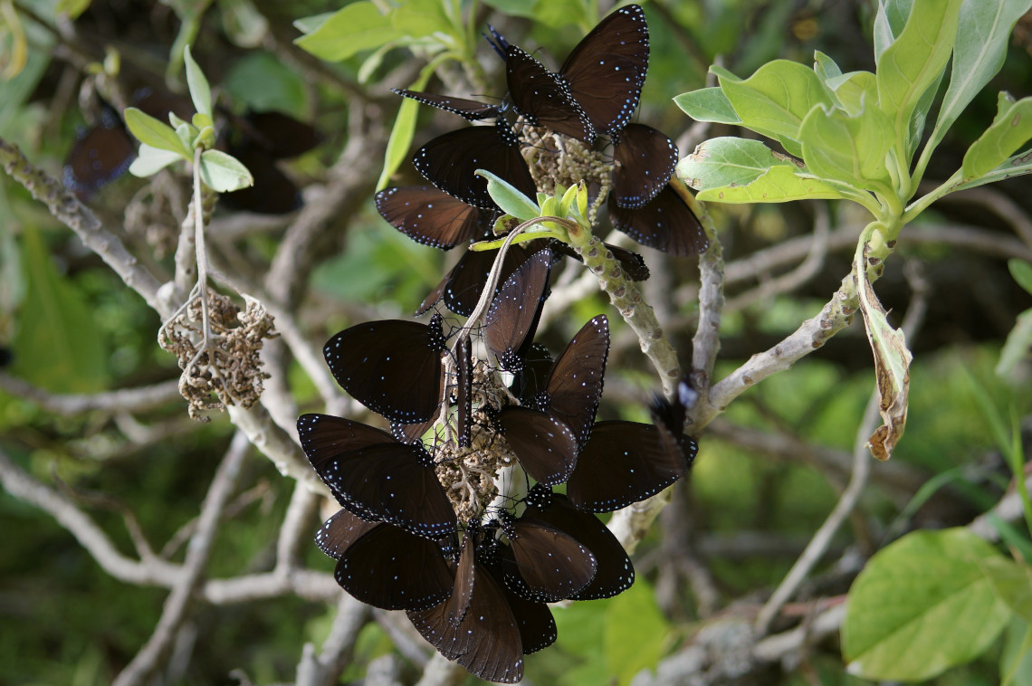 Blue Banded King Crow butterflies