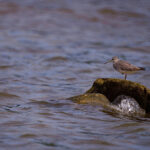 The Grey-tailed tattler