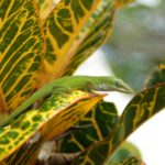 The Anolis Carolinensis