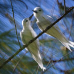 Pair of White Terns