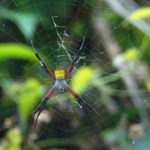 The Argiope appensa